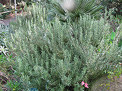 Tuscan Blue Rosemary (Rosmarinus officinalis 'Tuscan Blue') at Johnson Brothers Garden Market