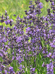English Lavender (Lavandula angustifolia) at Johnson Brothers Garden Market
