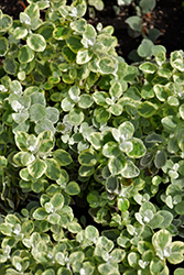 Variegated Licorice Plant (Helichrysum petiolare 'Variegated Licorice') at Johnson Brothers Garden Market