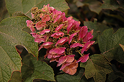 Ruby Slippers Hydrangea (Hydrangea quercifolia 'Ruby Slippers') at Johnson Brothers Garden Market
