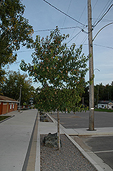 Amur Maple (tree form) (Acer ginnala '(tree form)') at Johnson Brothers Garden Market