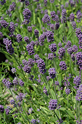 Mini Blue Lavender (Lavandula angustifolia 'Mini Blue') at Johnson Brothers Garden Market
