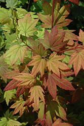 Vine Maple (Acer circinatum) at Johnson Brothers Garden Market