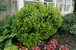 Dwarf Strawberry Tree (Arbutus unedo 'Compacta') at Johnson Brothers Garden Market
