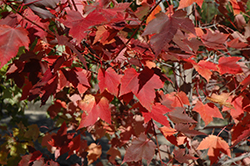 Prairie Rouge® Red Maple (Acer rubrum 'Jefrouge') at Johnson Brothers Garden Market