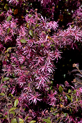 Red-Flowered Chinese Fringeflower (Loropetalum chinense 'var. rubrum') at Johnson Brothers Garden Market
