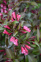 Shining Sensation™ Weigela (Weigela florida 'Bokrashine') at Johnson Brothers Garden Market