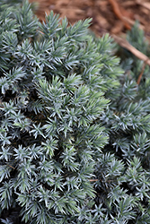 Blue Star Juniper (Juniperus squamata 'Blue Star') at Johnson Brothers Garden Market