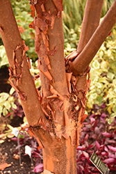 Paperbark Maple (Acer griseum) at Johnson Brothers Garden Market