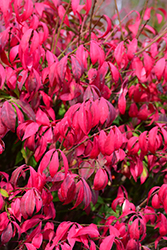 Little Moses Burning Bush (Euonymus alatus 'Odom') at Johnson Brothers Garden Market