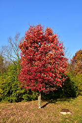 Autumn Flame Red Maple (Acer rubrum 'Autumn Flame') at Johnson Brothers Garden Market