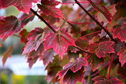 Brandywine Red Maple (Acer rubrum 'Brandywine') at Johnson Brothers Garden Market