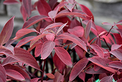 Arctic Fire® Red Twig Dogwood (Cornus sericea 'Farrow') at Johnson Brothers Garden Market