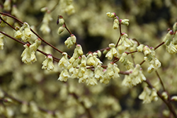 Buttercup Winterhazel (Corylopsis pauciflora) at Johnson Brothers Garden Market
