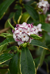 Fragrant Variegated Winter Daphne (Daphne odora 'Aureomarginata') at Johnson Brothers Garden Market
