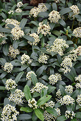Dwarf Female Japanese Skimmia (Skimmia japonica 'Dwarf Female') at Johnson Brothers Garden Market