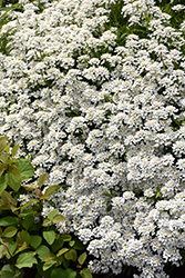 Candytuft (Iberis sempervirens) at Johnson Brothers Garden Market