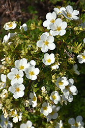 McKay's White Potentilla (Potentilla fruticosa 'McKay's White') at Johnson Brothers Garden Market