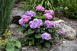 Bloomstruck® Hydrangea (Hydrangea macrophylla 'PIIHM-II') at Johnson Brothers Garden Market