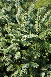 Prostrate Blue Spanish Fir (Abies pinsapo 'Glauca Prostrata') at Johnson Brothers Garden Market