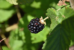 Jewel Black Raspberry (Rubus occidentalis 'Jewel') at Johnson Brothers Garden Market