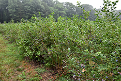 Bluecrop Blueberry (Vaccinium corymbosum 'Bluecrop') at Johnson Brothers Garden Market