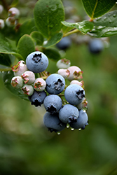 Duke Blueberry (Vaccinium corymbosum 'Duke') at Johnson Brothers Garden Market