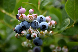 Top Hat Blueberry (Vaccinium corymbosum 'Top Hat') at Johnson Brothers Garden Market