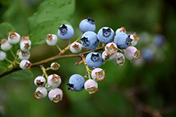 Highbush Blueberry (Vaccinium corymbosum) at Johnson Brothers Garden Market