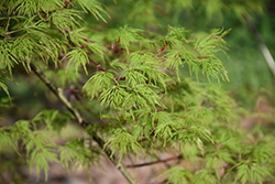Emerald Lace Japanese Maple (Acer palmatum 'Emerald Lace') at Johnson Brothers Garden Market