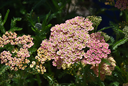 Peachy Seduction Yarrow (Achillea millefolium 'Peachy Seduction') at Johnson Brothers Garden Market