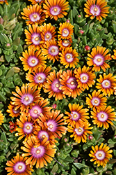 Fire Spinner Ice Plant (Delosperma 'Fire Spinner') at Johnson Brothers Garden Market