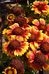Gallo™ Fire Blanket Flower (Gaillardia aristata 'Gallo Fire') at Johnson Brothers Garden Market