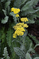 Sassy Summer Silver Yarrow (Achillea 'Sassy Summer Silver') at Johnson Brothers Garden Market