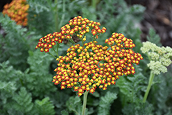 Sassy Summer Sunset Yarrow (Achillea 'Sassy Summer Sunset') at Johnson Brothers Garden Market