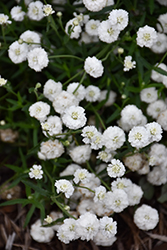 Peter Cottontail Yarrow (Achillea ptarmica 'Peter Cottontail') at Johnson Brothers Garden Market